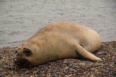 Zeeleeuw op het strand Stock Fotografie