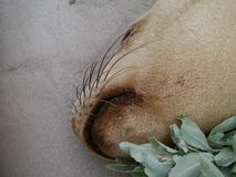 Zeeleeuw op het strand van Verbindingsbaai Stock Foto's