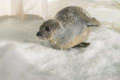 Zeeleeuw op ijs royalty-vrije stock afbeelding