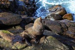 Zeeleeuw op Katiki-Punt Stock Foto's