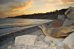 Zeeleeuw op Kust Stock Foto