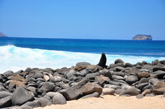 Zeeleeuw op rotsen Stock Foto