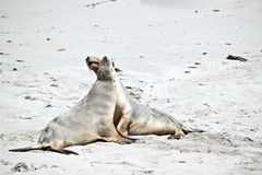 Zeeleeuw op strand royalty-vrije stock foto