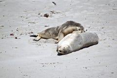 Zeeleeuw op strand stock foto