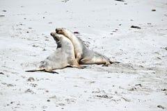 Zeeleeuw op strand stock afbeeldingen