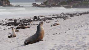 Zeeleeuw op strand stock videobeelden