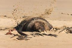 Zeeleeuw op zandig strand Stock Foto