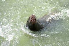 Zeeleeuw, open mond Stock Foto