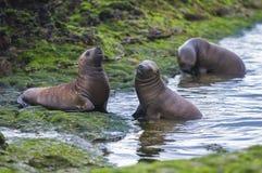 Zeeleeuw, Patagonië, Argentinië royalty-vrije stock fotografie