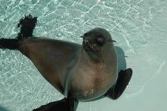 Zeeleeuw in pool stock afbeeldingen