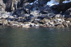 Zeeleeuw, slaap, rots stock afbeeldingen