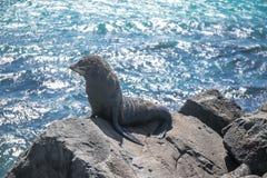 Zeeleeuw, verbinding in de wildernis Stock Foto's