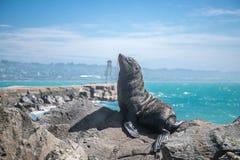 Zeeleeuw, verbinding in de wildernis Stock Afbeeldingen
