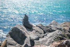 Zeeleeuw, verbinding in de wildernis Stock Foto