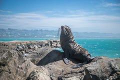 Zeeleeuw, verbinding in de wildernis Stock Fotografie