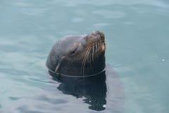 Zeeleeuw in water Stock Foto