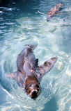 Zeeleeuwen Stock Foto