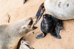Zeeleeuwen aan Kaapkruis, Namibië, Afrika Stock Foto's