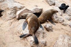 Zeeleeuwen aan Kaapkruis, Namibië, Afrika Stock Foto