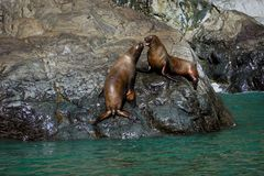 Zeeleeuwen in Alaska stock fotografie