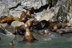 Zeeleeuwen in Alaska stock afbeeldingen