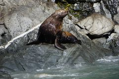 Zeeleeuwen in Alaska royalty-vrije stock foto