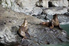 Zeeleeuwen in Alaska royalty-vrije stock afbeelding