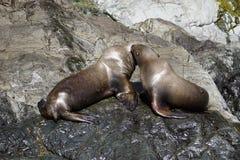Zeeleeuwen in Alaska royalty-vrije stock afbeeldingen