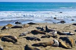 Zeeleeuwen bij de Reserve van de Staat van Puntlobos in Californië Royalty-vrije Stock Afbeeldingen