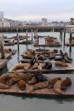 Zeeleeuwen bij Pijler 39 Stock Foto