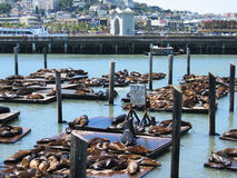 Zeeleeuwen bij Pijler 39 Royalty-vrije Stock Foto's