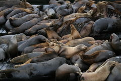 Zeeleeuwen bij Pijler 39, San Francisco Royalty-vrije Stock Afbeeldingen