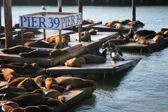 Zeeleeuwen bij Pijler 39, San Franscisco Royalty-vrije Stock Afbeelding