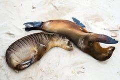 Zeeleeuwen bij strand Royalty-vrije Stock Afbeeldingen