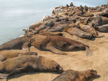 Zeeleeuwen die bij de Haven van Mar del Plata in Buenos aires rusten Stock Foto's