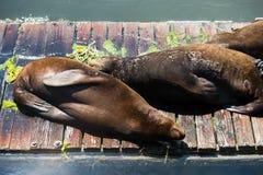 Zeeleeuwen die in de zon zonnebaden Royalty-vrije Stock Afbeelding
