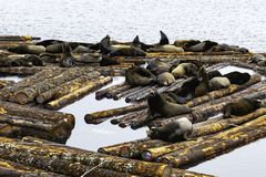 Zeeleeuwen die Gemakkelijk het nemen royalty-vrije stock foto's