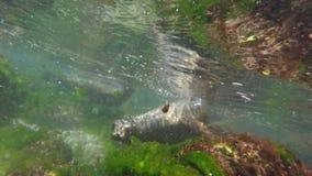 Zeeleeuwen die onderwaterclose-upmening zwemmen stock videobeelden