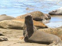 Zeeleeuwen die op de kust zonnebaden stock fotografie