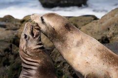 Zeeleeuwen die op een Zuidelijk Strand van Californië spelen Royalty-vrije Stock Foto's