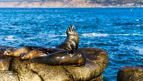 Zeeleeuwen die op klippen, dichtbij het Strand van La Jolla, San Diego rusten De V.S. Stock Fotografie