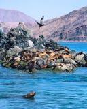 Zeeleeuwen en Pelikaan Stock Afbeelding
