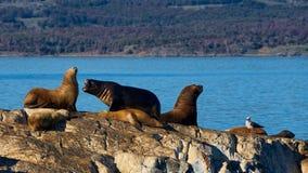 Zeeleeuwen in het brakkanaal Stock Foto