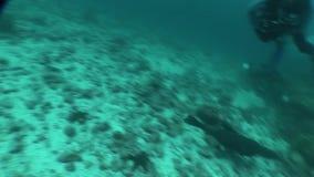 Zeeleeuwen het duiken onderwater video de Galapagos eilanden Vreedzame Oceaan stock video
