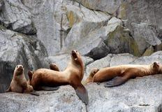 Zeeleeuwen in het Kenai-Fjorden Nationale Park royalty-vrije stock afbeeldingen