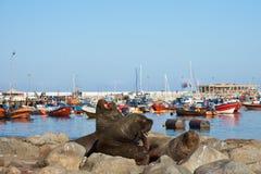 Zeeleeuwen in Iquique-Haven Stock Afbeeldingen