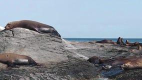 Zeeleeuwen in Mexico stock footage