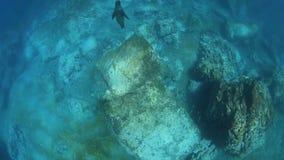 Zeeleeuwen onderwater spelen stock videobeelden