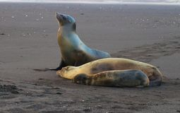 Zeeleeuwen op de Eilanden van de Galapagos stock foto