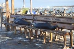 Zeeleeuwen op een Bushaltebank Royalty-vrije Stock Fotografie